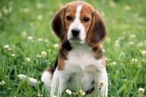 Beagle Cute Puppy Photo