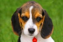 Beagle Puppy HD photo