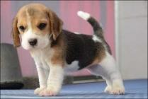 Beagle Puppy Photo