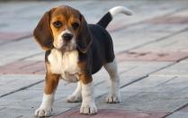 Beagle Puppy Picture