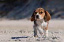 Beagle Puppy on beach