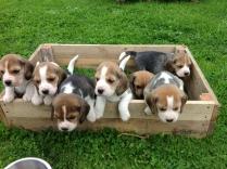 Cute Beagle Puppies Photos