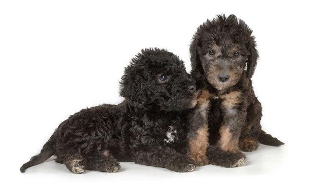 Adorable Bedlington Terrier Puppies