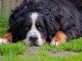 Bernese Mountain Dog Image.jpg