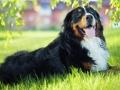 Bernese Mountain Dog Photo.jpg
