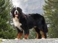 Bernese Mountain Dog Pic.jpg