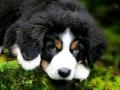 Bernese Mountain Dog Puppy Photo.jpg