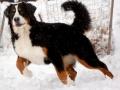 Bernese Mountain Dog in Ice.jpeg