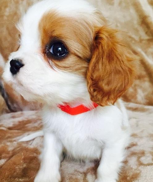 Cavalier King Charles Spaniel Puppies Doglers
