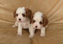Cute cavalier king charles spaniel Puppies Photo