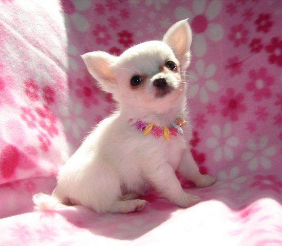 Chihuahua Puppies Photos - Small Dog Breed Photos