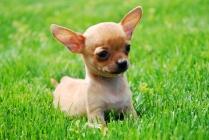 Chihuahua Puppies 1