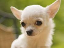 Chihuahua Puppies 10