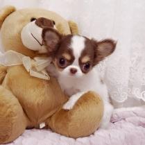 Chihuahua Puppies 2