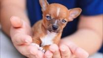 Chihuahua Puppies 5