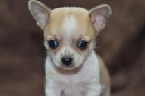 Chihuahua Puppies 6