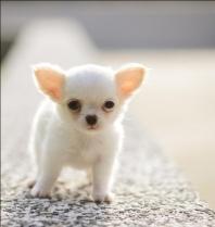 Chihuahua Puppies 7