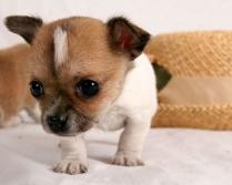 Chihuahua Puppies 8