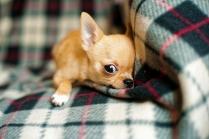 Chihuahua Puppies 9