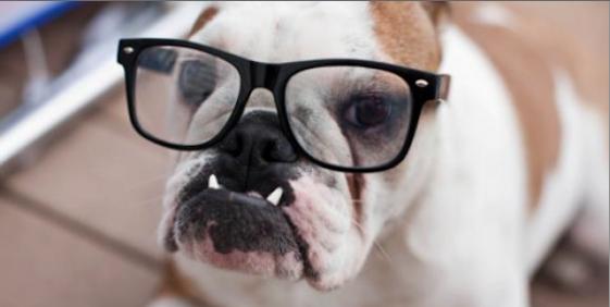 American Bull Dog nerd look