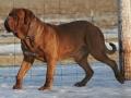 Dogue de Bordeaux Dog Breed Photo.jpg