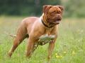 Dogue de Bordeaux Dog Image.jpg