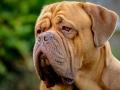 Dogue de Bordeaux Dog.jpg
