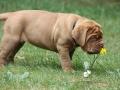Dogue de Bordeaux Puppy.jpg