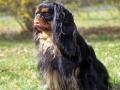 English Toy Spaniel Dog Photo