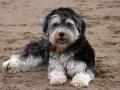 Havanese Dog Image