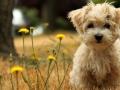 Havanese Dog Pic