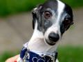Funny Italian Greyhound dog