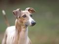 Italian Greyhound Pic