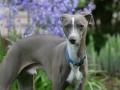 Italian Greyhound dog HD photo