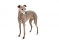 Italian Greyhound dog image