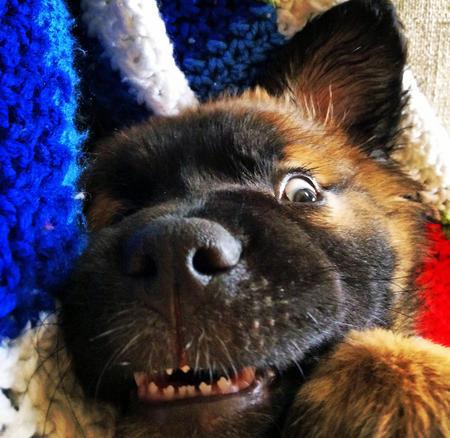 Funny Leonberger puppy.jpg