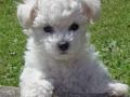 maltese-dog-photos
