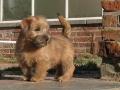 norfolk-terrier-cute-puppy