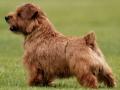 norfolk-terrier-dog-photos