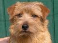 norfolk-terrier-dog