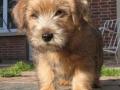 norfolk-terrier-photos