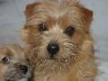 norfolk-terrier-pictures