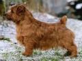 norfolk-terrier-stills