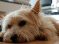 cute-norwich-terrier-photos