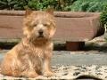 norwich-terrier-breed