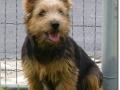 norwich-terrier-dog-photos