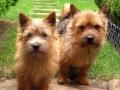norwich-terrier-dog