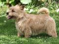 norwich-terrier-stills