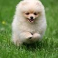 pomeranian-cute-puppy