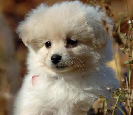 Cute Pomeranian Dog Info Small Dog Breeds Doglers